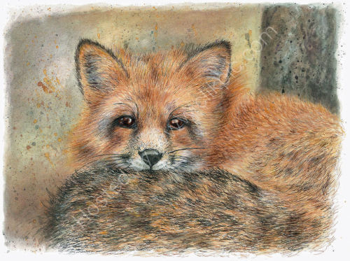 Fox - Wildlife Print by Clare Thompson