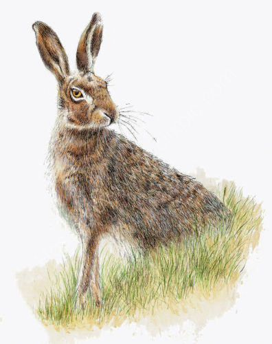 Single Hare Looking Right - Wildlife Print by Clare Thompson