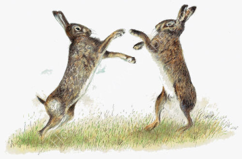 Boxing Hares - Wildlife Print by Clare Thompson