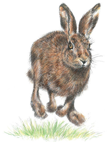 Hare - Wildlife Print by Clare Thompson