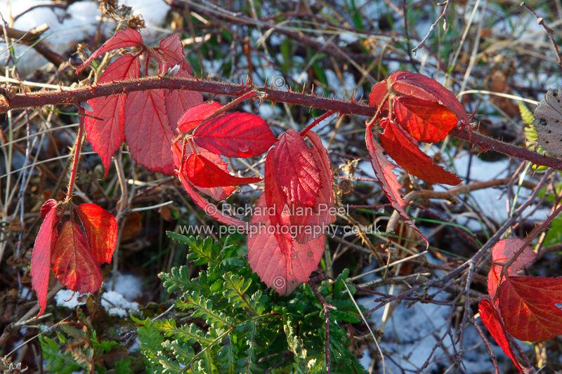 Bramble leaves - autumn