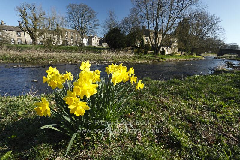 Daffodils Gargrave North Yorkshire England