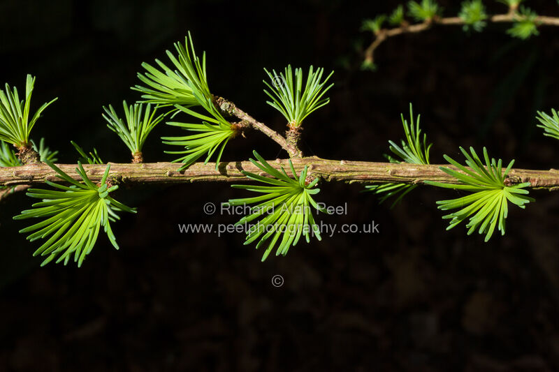 Larch leaves