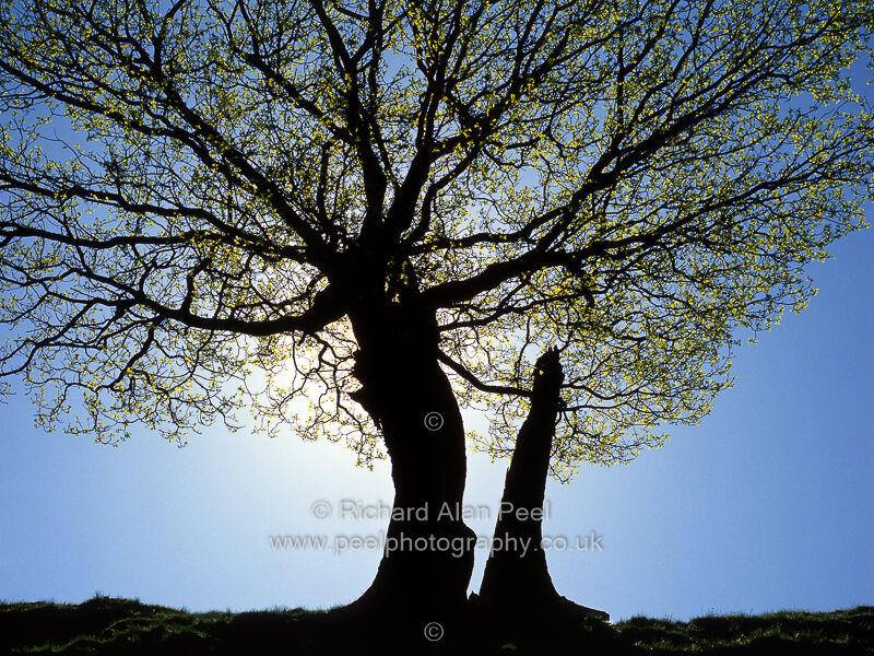 Tree silhouette Spring Yorkshire England UK