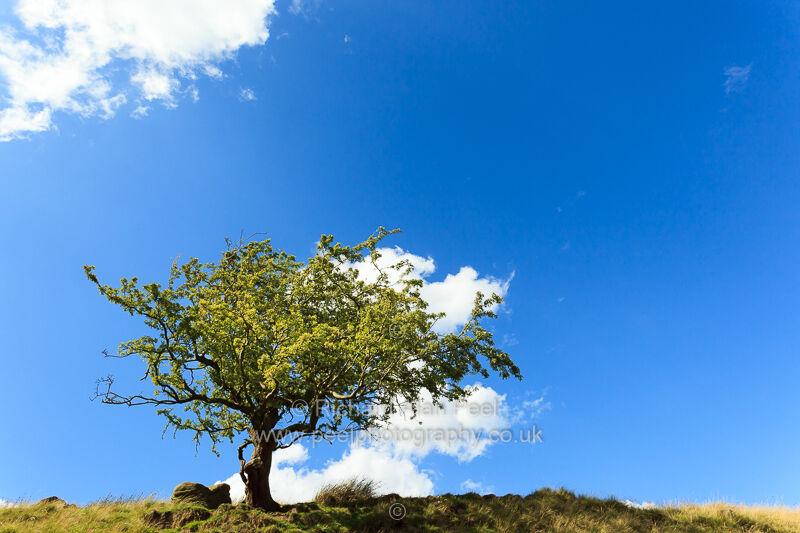 Hawthorn tree on the skyline
