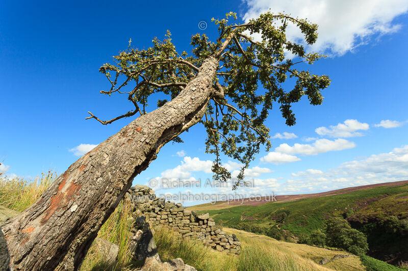 Hawthorn tree Stanbury Moor West Yorkshire England UK
