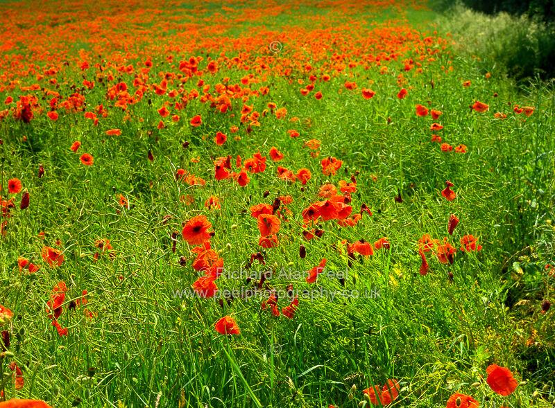 Poppy field Yorkshire