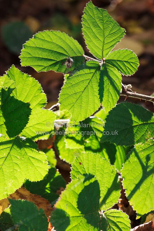 Backlit  bramble leaves October England UK