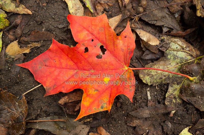 Autumn - orange leaf