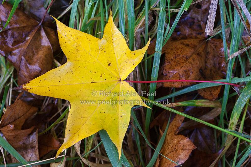 Autumn – yellow leaf