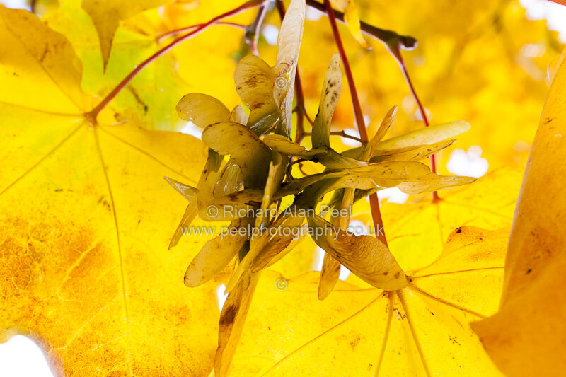 Yellow leaves and seeds