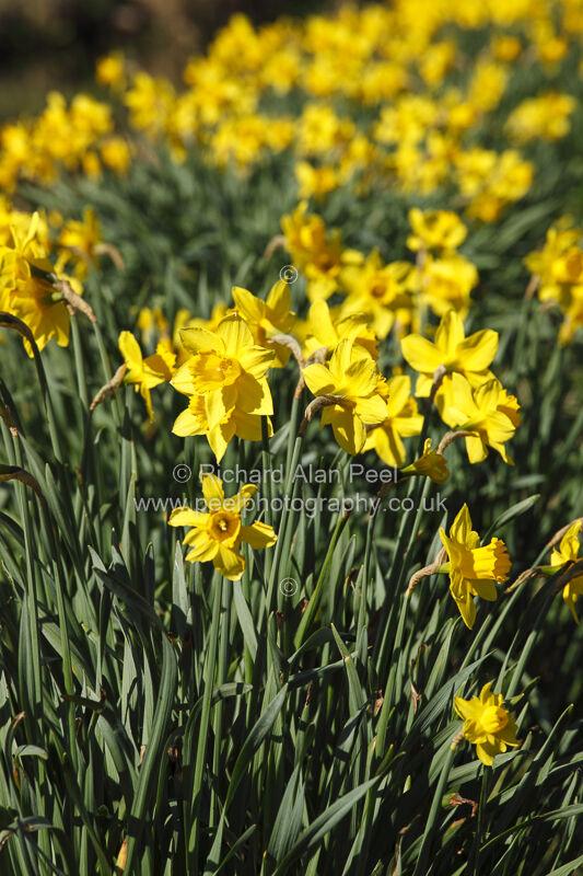 Spring – Daffodils