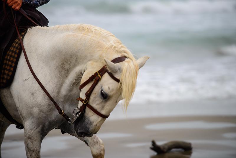 4367-Tamed Camargue White -Horse