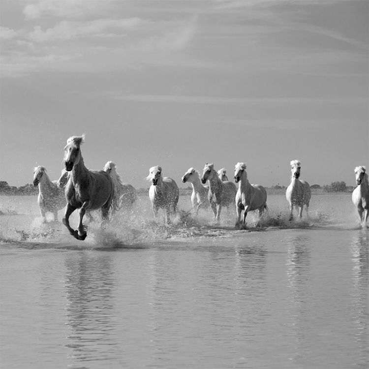 4459-Camargue White Horses Leader Of The -Pack