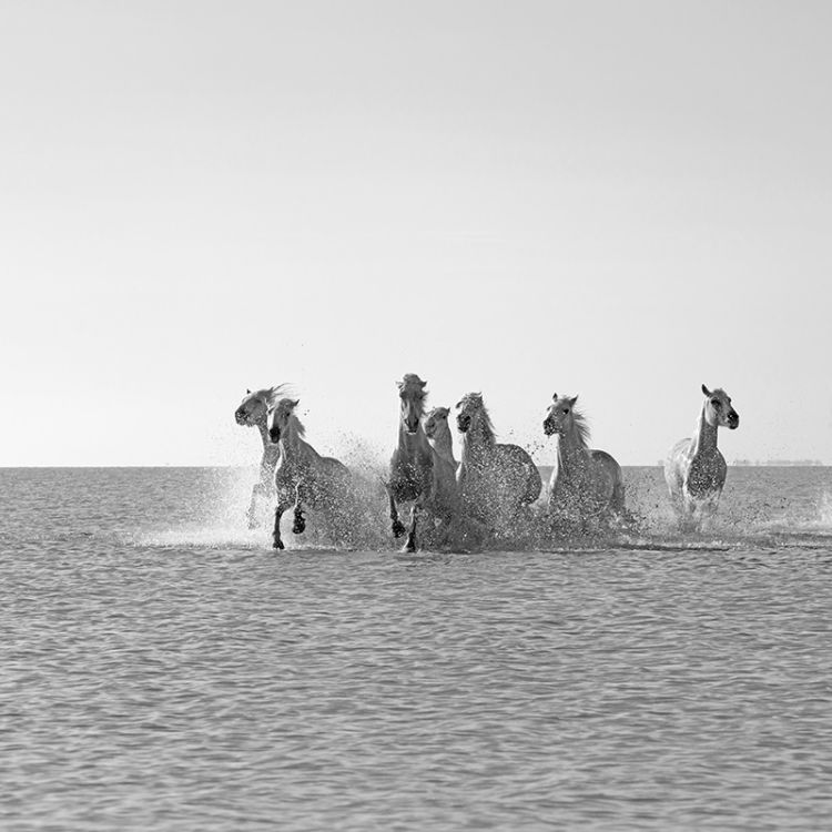 4734-Camargue White Horses Coming At You