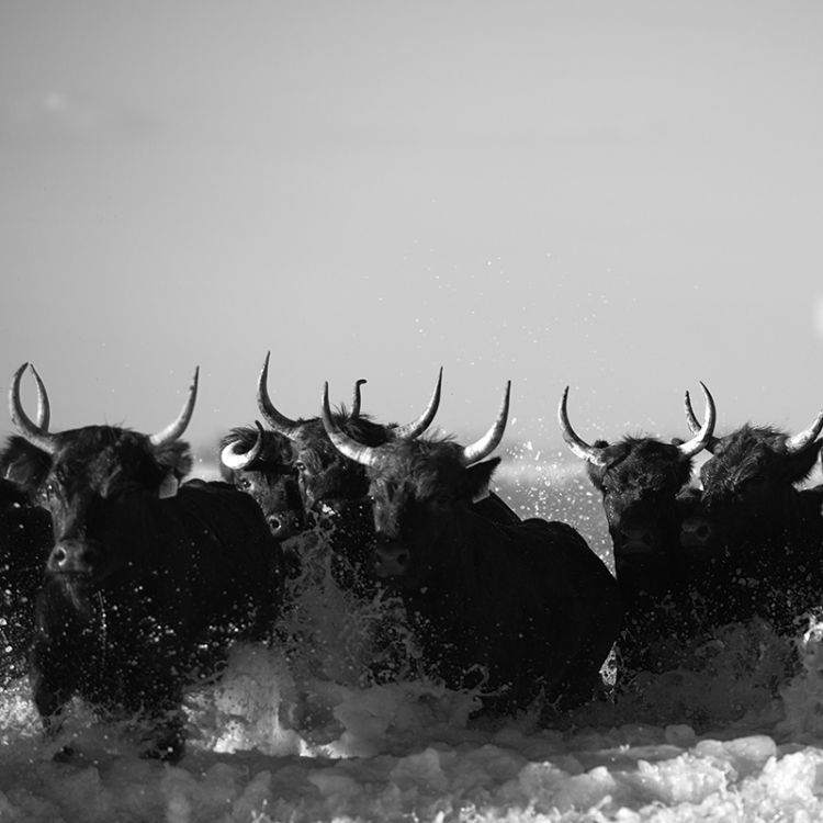 4866-Did Not Expect Camargue Bulls
