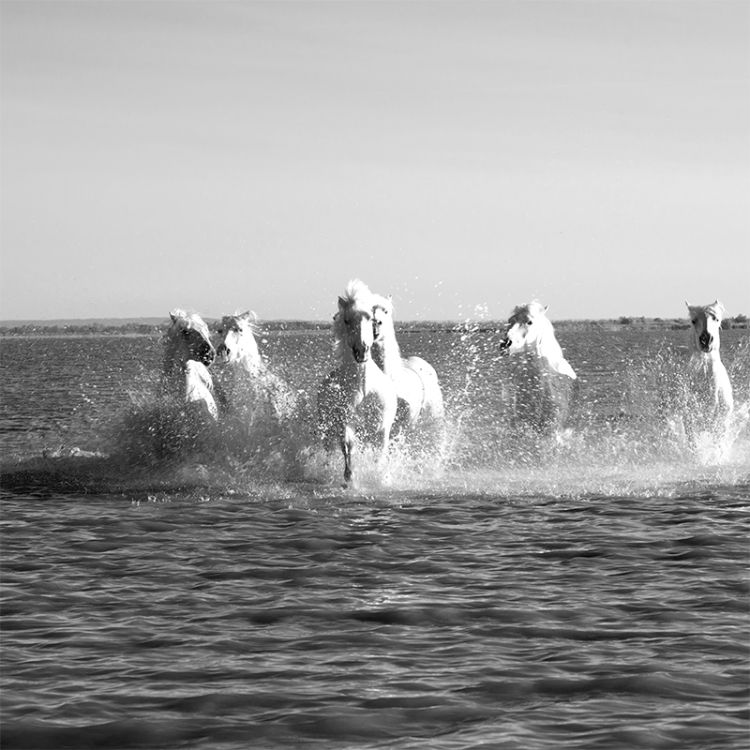 4922-Camargue-White Horses Follow Me
