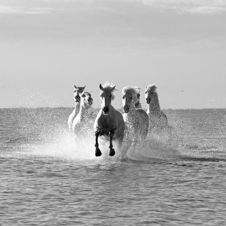 4968-Camargue-White Horses Getting Closer