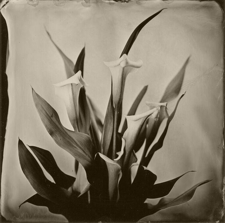 Calla Lilies small
