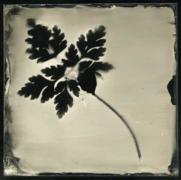 Geranium leaf