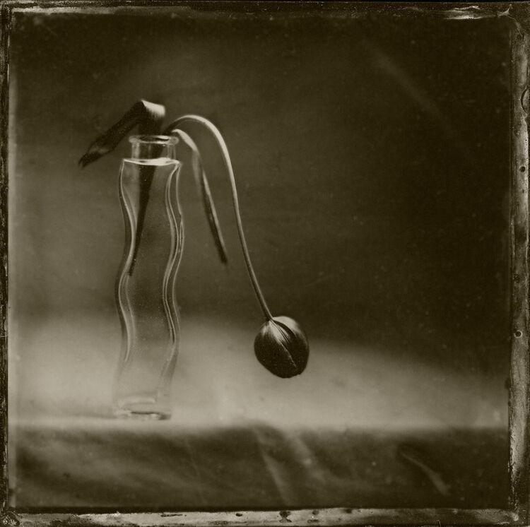 Melancholy Tulip