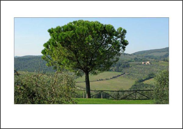IT09007. Stone Pine, Tuscany