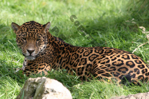 Leopard - Chester Zoo