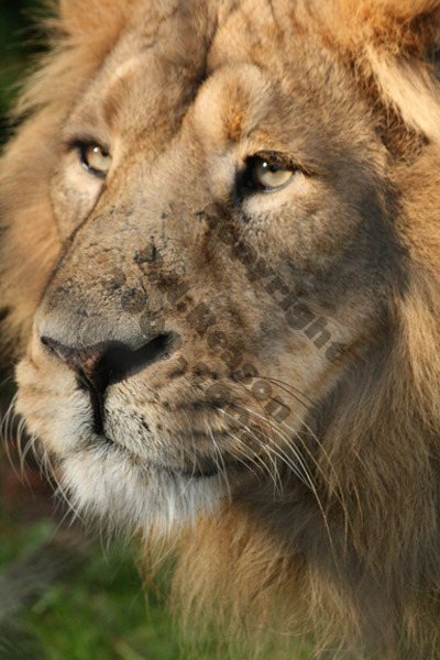 Lion - Chester Zoo
