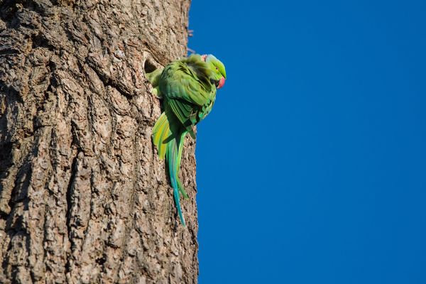 Ring Necked Parakeet Psittacula krameri