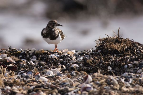 Turnstone Arenaria interpres