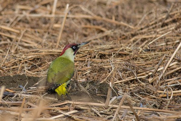 Green Woodpecker Picus viridis
