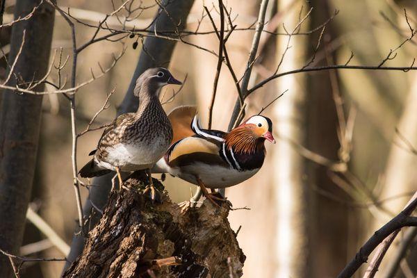 Mandarin Ducks Aix galericulata