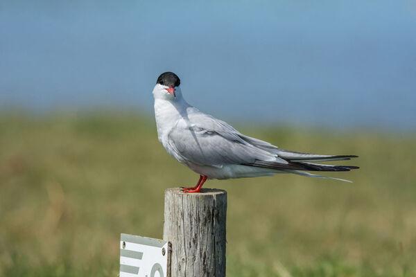 Common Tern Sterna hirundo