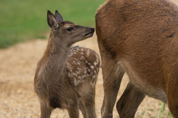 Red Deer Cervus elaphus Fawn with Hind.