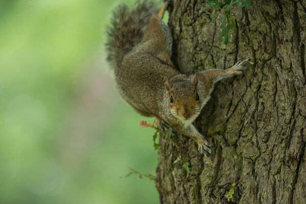 Grey Squirrel Sciurus carolinensis