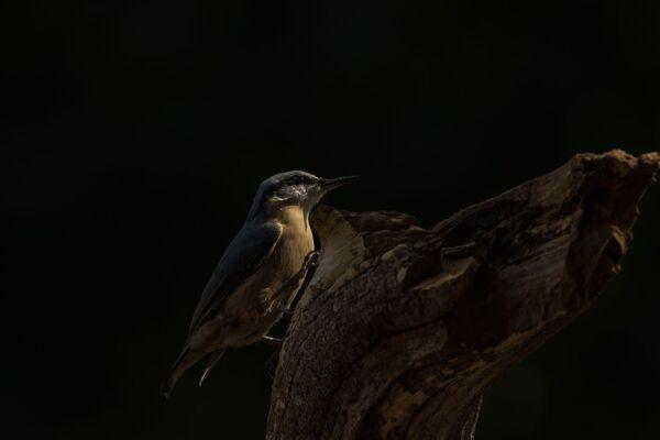 Nuthatch Sitta Europaea
