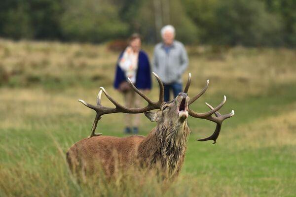 Red Deer Cervus elaphus Bellowing