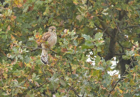 Kestrel Falco tinnunculus