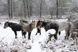 New Forest Ponies in a Snowstorm