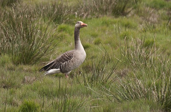 Greylag Goose Anser anser