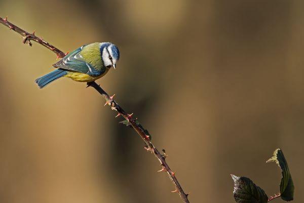 Blue Tit Cyanistes caeruleus