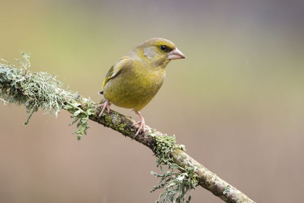 Greenfinch Carduelis chloris
