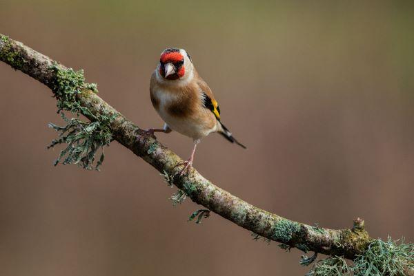 Goldfinch Carduelis carduelis