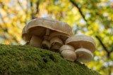 Porcelain Fungus Oudemansiella mucida