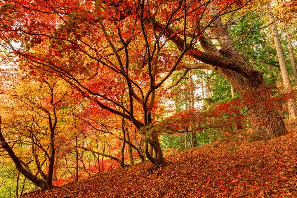 Acer's in Autumn