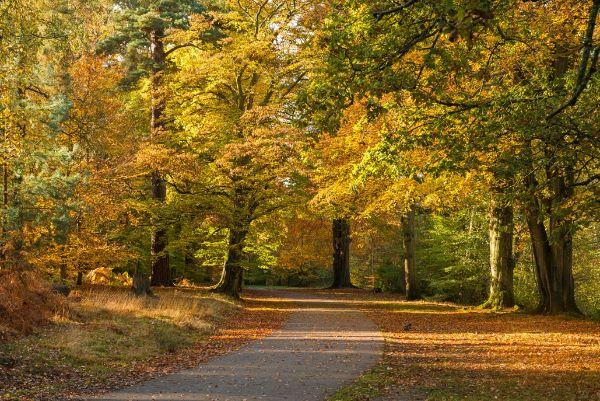 Pathway through  beech woods