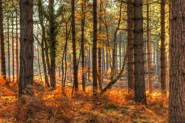 Pine Forest Late Autumn