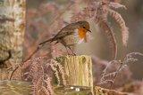 BBK6169 Robin Erithacus rubecula