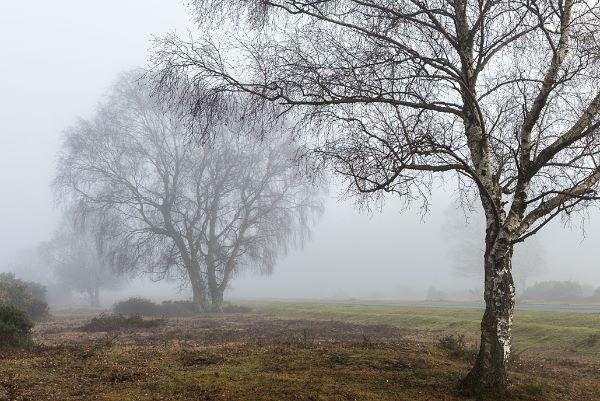 Silver Birch near Beaulieu Road