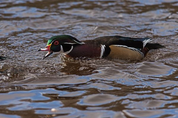 Wood Duck Aixsponsa